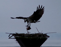 Blackwater NWR - Ospreys